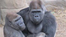 Toxic Ape Masculinity with David Attenborough (Parody)
